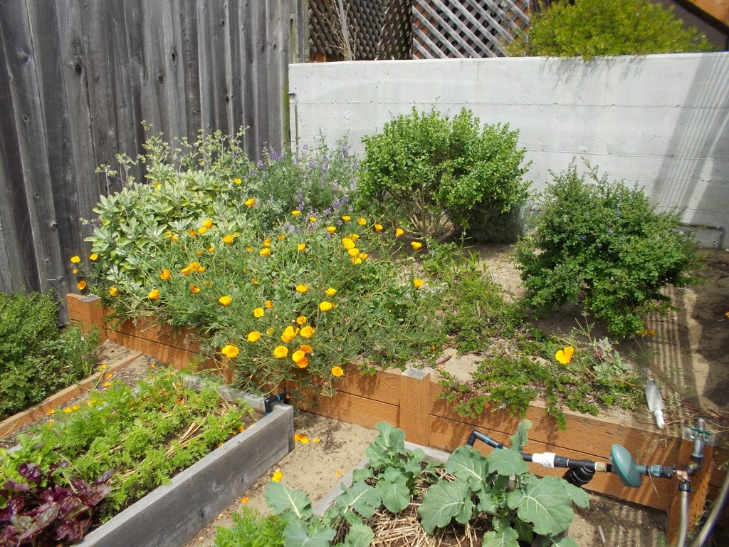 Vegetables foreground, CA native ornamentals background.